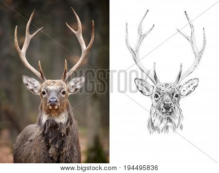 Portrait of deer before and after drawn by hand in pencil. Originals no tracing