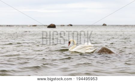 White swan swim in a sea at an overcast day