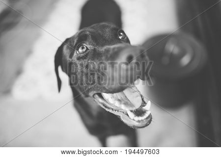 Smile dog labrador with B&W Style at blur background