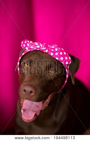 Smile dog labrador with pink Bow Tie at pink background