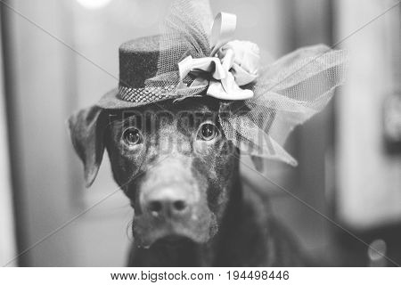 Cute labrador with hat sitting blur background B&W color style