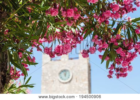 Pink Flowers Of Oleander In Taormina City