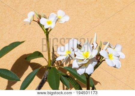White Ficus Flowers Near Yellow Plastered Wall