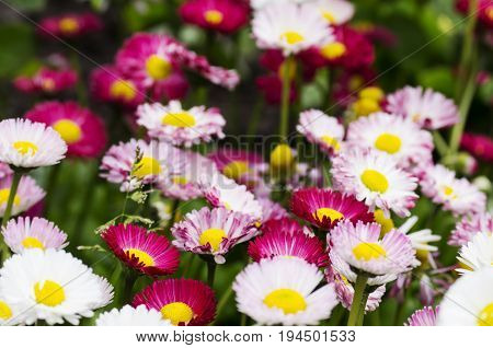 Flowering daisies in the field, Pyrethrum, Bed