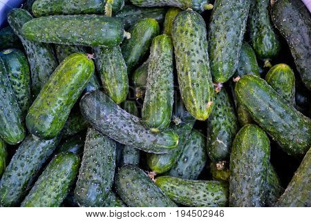 Cucumbers Pickle Fresh Organic Agriculture Summer Salad