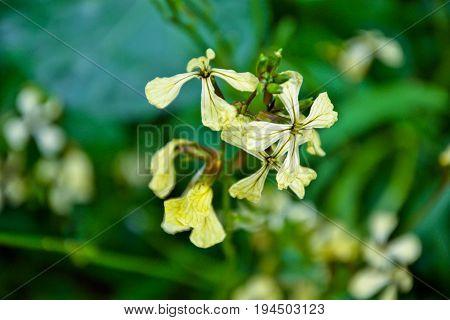 Arugula flower. Rucola blossom. Eruca lativa plant. Farmland arugula. Rocket salad. Food spice and herbs. Spring garden in countryside. Organic agriculture in village. Springtime retro photo.