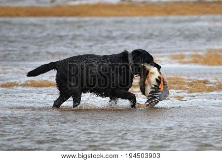 The Taimyr Peninsula. The work of a hunting dog in a goose hunt.
