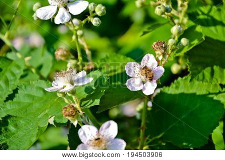 Blackberry blossom. Berries bush in the garden. Countryside agriculture. Spring bloom. Organic blackberries flowers. Ecological organic plant. Springtime retro photo.