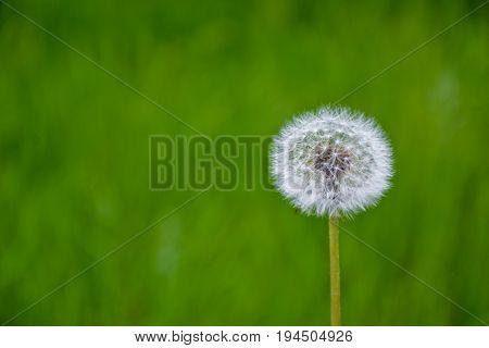 Dandelion Flower Blowball Park Green Grass Background