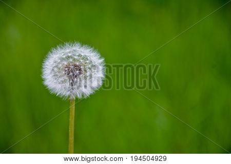Dandelion flower. Blowball on green grass background. Spring bloom. Park plant. Countryside nature. Springtime photo retro postcard.