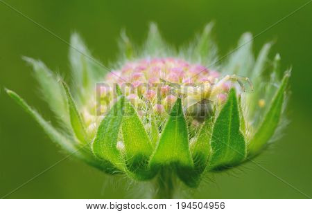 Spider-sidearm on a flower. Knautia flower. Hides and waits for prey