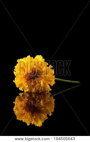 Marigold Flower On A Black Reflective Background