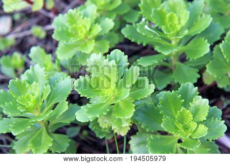 Green Sedum prominent plant in summer time