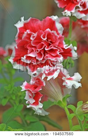 Red And White Petunia In A Garden