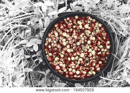 Bucket of collected wild strawberries in the forest and in the fields of Russia.
