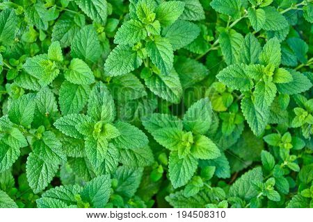 Melissa plant. Lemon balm in the garden. Countryside nature. Organic agriculture. Herb plant in the wild nature. Tea flavor. Village yard herbs. Nature retro photo.