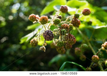 Close-up of growing Blackberries in the Forest. View on growing Berries in Summer.