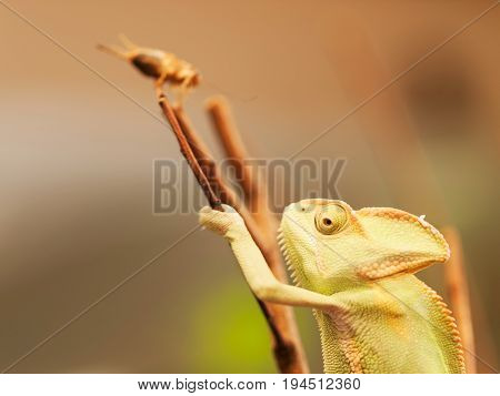 Young Yemen chameleon on the branch prepared to catch beetle - Chameleo calyptratus