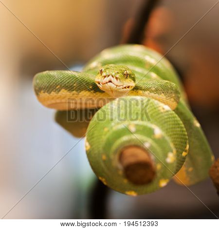 Green tree python - Morelia viridis - on the branch prepared for attack