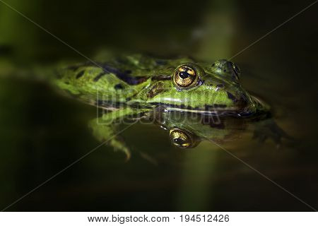 Green frog with golden eyes (Pelophylax esculentus) swimming in pond and is reflected in water close up with copy space selected focus narrow depth of field