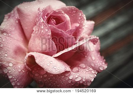 soft pink rose the morning after rain