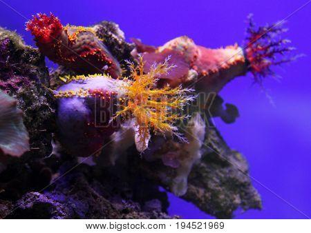 Colorful Sea Apple