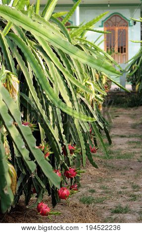 Plantation Of  Pitahaya Blanca Or White-fleshed Pitaya (hylocereus Undatus), Vietnam