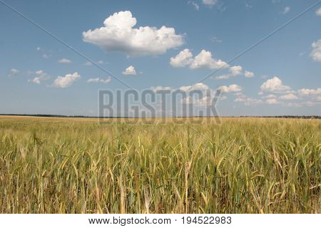 Large field of fresh wheat and sky whit clouds in countryside