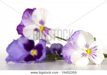pansies on white