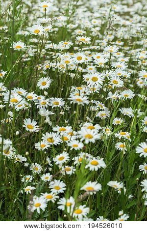 Small part of an infinite huge field of daisys flowers. Summer day. Concept of seasons, ecology, green planet, Healthy, natural green pharmacy, perfumery. Vertical natural background
