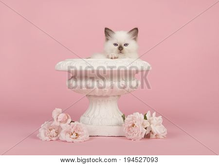 Cute 6 weeks old rag doll baby cat with blue eyes in a white flower pot with real white roses on a pink background