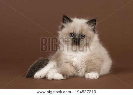 Adorable 6 weeks old rag doll baby cat with blue eyes looking at the camera lying down on a brown background