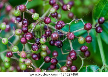 An elder fruit cluster ( Sambucus nigra)