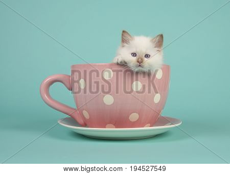Cute 6 weeks old rag doll baby cat with blue eyes hanging over the edge of a pink and white dotted cup and saucer and a turquoise blue background