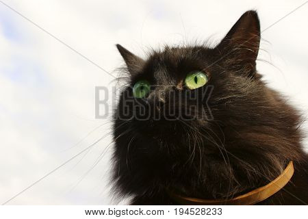 Cropped view of a black cat looking away. Feline gaze.  Wide-eyed and alert.