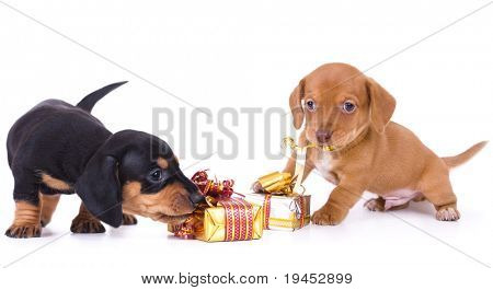 dachshund puppies and New Year gift