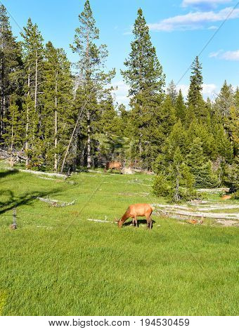 Elk grazing in a meadow in Yellowstone National Park.