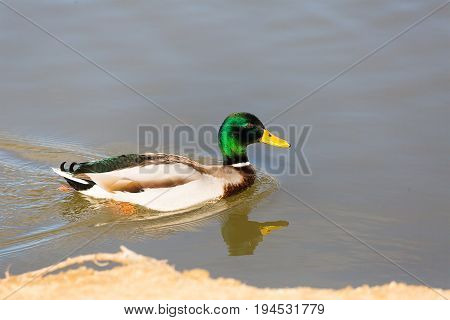 lonely young duck in profile floats cleaving the smooth surface of the water