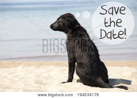 Speech Balloon With English Text Save The Date. Flat Coated Retriever Dog At Sandy Beach. Ocean And Water In The Background