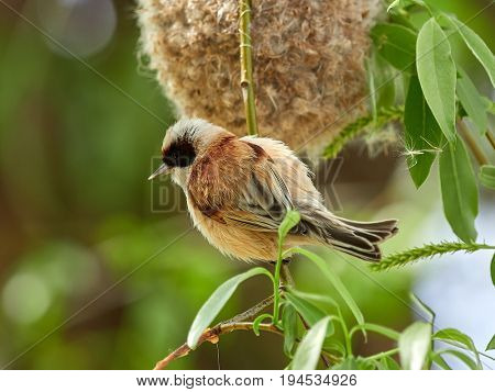 penduline tit during construction of suspended nest on willow branch  (remiz pendulinus)