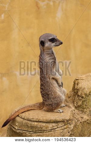 Meerkat sat on rock and keeping guard