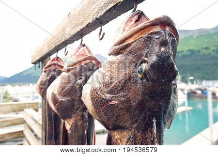 USA, Alaska, three dead Ling Cods hanging on hooks, close up