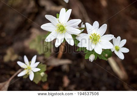 Woodland growing sharp lobed white anemone buttercup