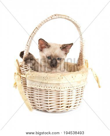 Sweet tortie point Siamee kitten in an off white basket, on white background