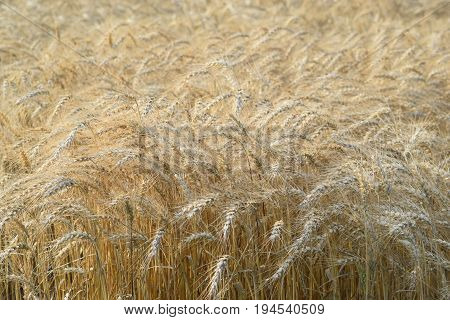 a field of wheat waiting for harvest