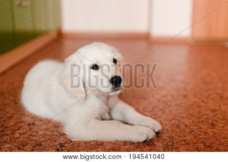 young puppy of a Golden Retriever Labrador retriever performs a command to lie and smiles. Concept of the contents of the dog house apartment, training.