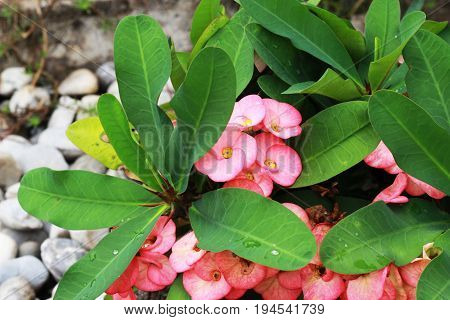 Euphorbia milli a beautiful flower color blooming in the garden and has a leaf as the background