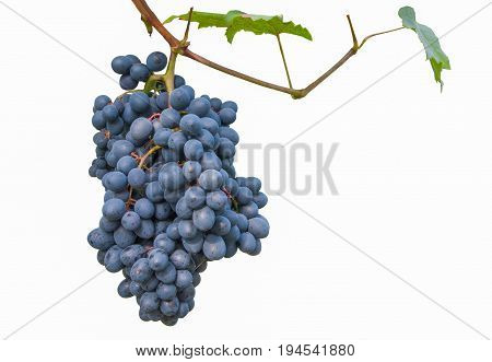 fresh bunch of purple grapes isolated, fruit