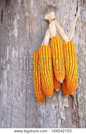 corn seed hang on wooden wall in farm