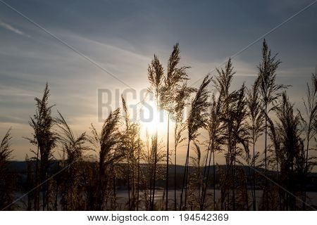bulrush on background sunset in winter . A photo